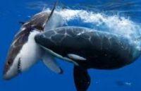 Der Schwertwal im Haifischbecken