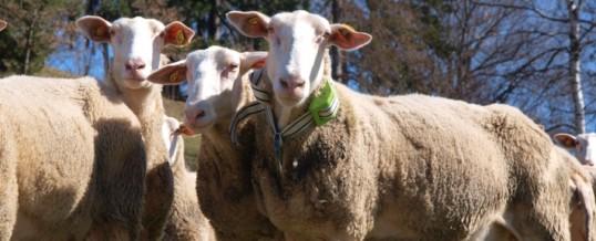 Digitalisierung der Landwirtschaft / Das Internet der Tiere: Schafe von heute funken mit 0G